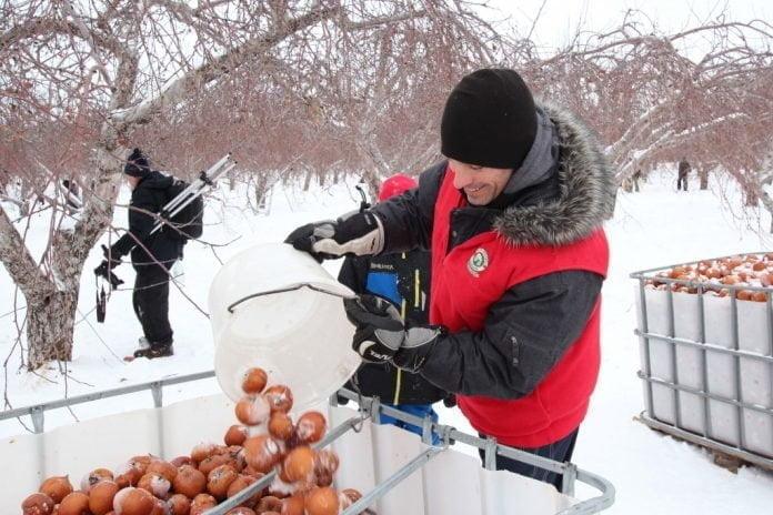 Un homme en manteau d'hiver dépose des pomme cueillies gelées en plein hiver québécois