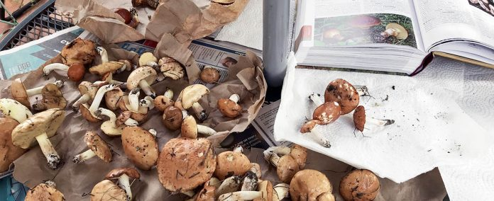Un bon guide comme Le Grand livre des champignons du Québec et de l'est du Canada, de Raymond McNeil, est nécessaire pour identifier le fruit de sa cueillette.